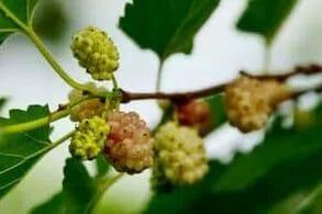la fruta de la morera blanca en el arbusto